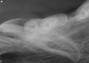 Dental radiograph of abnormal tooth: Courtesy: Animal Dentistry and Oral Surgery Specialists, LLC.