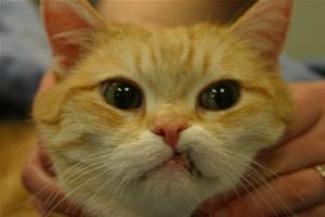 d0f44ae6ae Cat Dental Bite Evaluation - Cat Malocclusion - Vet Dentist ...